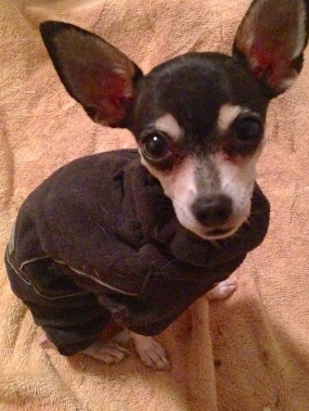 Polly Pocket Chihuahua in a Hurtta Jumpsuit